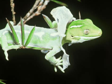 How Often Do Geckos Shed Their Skin by Shedding Gecko