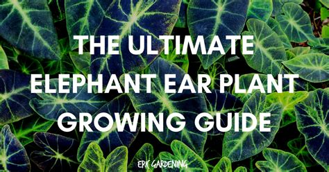 elephant ear plant care planting  growing tips