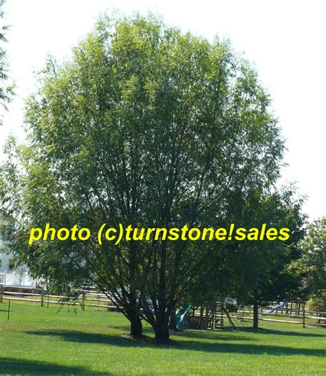 2ft 3ft hybrid willow tree fast growing shade screen