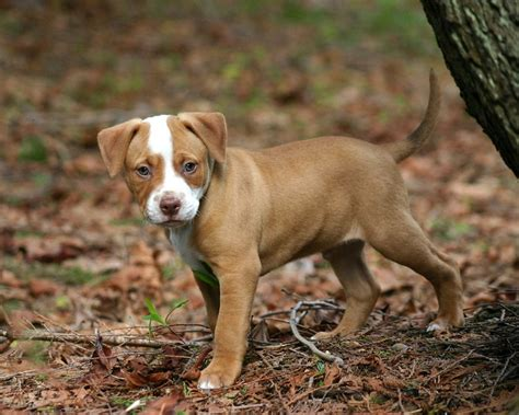 Cute Brown Pitbull Puppies Www Pixshark Com Images Brown Pit