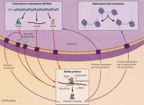 test sulla cellula test d ingresso a medicina le domande di biologia con le