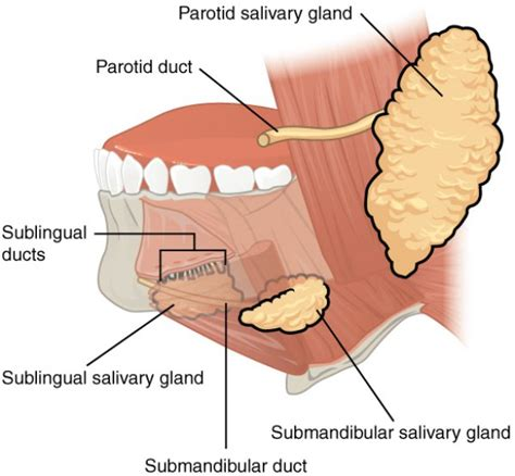diagram of salivary glands cavity anatomy functions and diseases