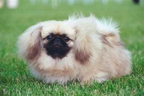 when do small breed puppies stop growing when do pekingese stop growing pets