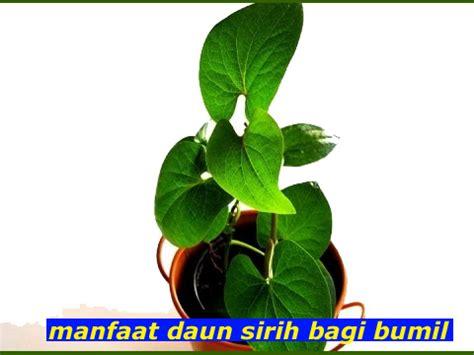 manfaat rebusan daun sirih  kesehatan ibu hamil