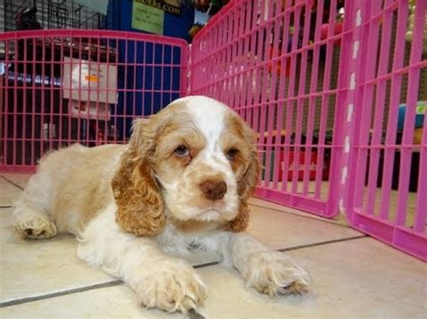cocker spaniel, puppies, dogs, for sale, in columbus