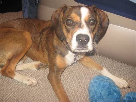 boxer beagle puppy bogle boxer beagle mix info temperament puppies pictures