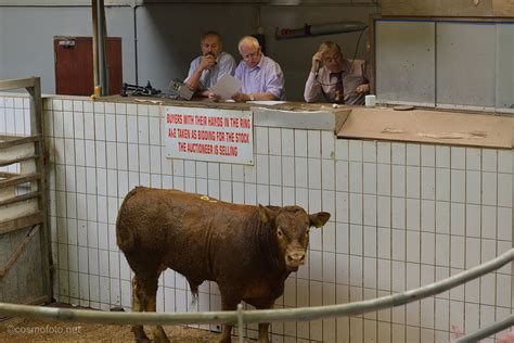 Feeder Cattle Auction Prices where in the u s are feeder cattle most valuable ageconmt