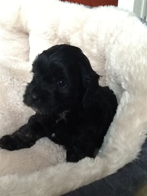 black cockapoo puppies stunning f2 black cockapoo puppies for sale leiston suffolk pets4homes