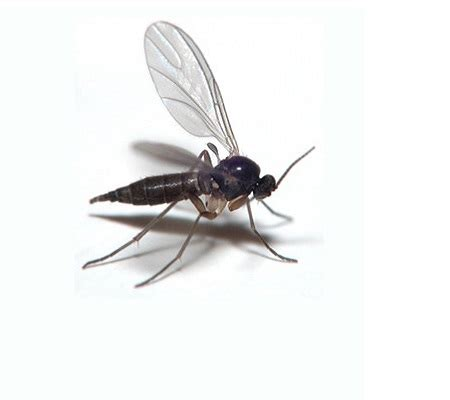 Protect Your Marijuana From Fungus Gnats Grasscity Magazine Grasscity Magazine