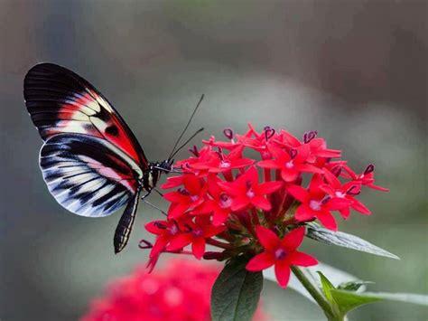 imagenes de mariposas posadas en flores papillons
