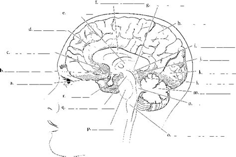 midsagittal section of the brain diagram human brain diagram blank