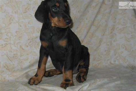 puppies fresno akc doberman pinscher puppies chion bloodlines breeds picture
