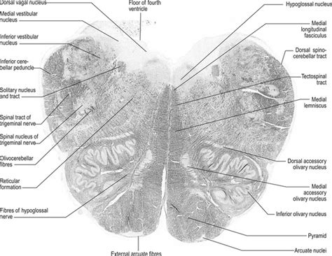 Medulla Cross Section by The Brainstem And Reticular Formation Neupsy Key