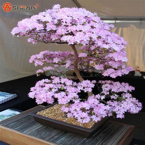 How To Plant Sakura Bonsai Seeds