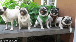3 4 pugs look like pugs huddersfield west pets4homes name that breed playbuzz