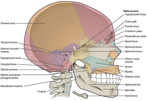 File 706 Sagittal Section Of Skull 01 Jpg Wikimedia Commons