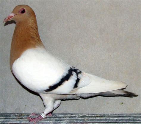 imagenes de palomas ok por aqui tambien hay fantacias p 225 gina 2