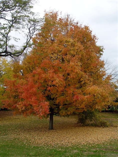 maple tree value the best trees for any backyard dogwood landscaping
