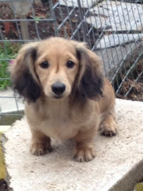 dachshund puppies for sale in wi haired breeds picture