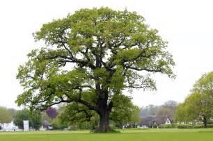Floor And Decor Boynton 28 tree the tree victor a leonard file liquidambar