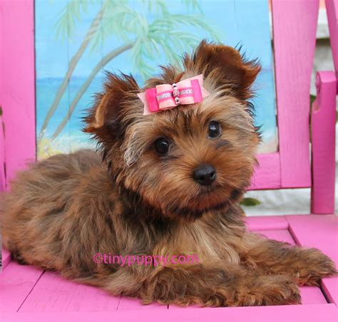 gold yorkie puppies parti yorkie haircuts newhairstylesformen2014