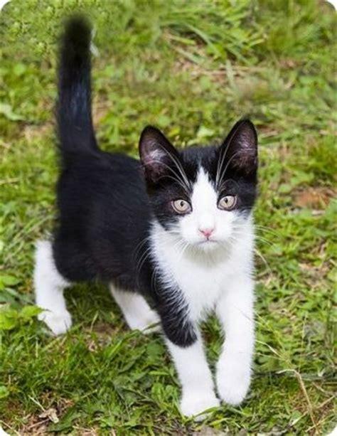 imagenes en blanco y negro gatitos pin gatitos blancos y atigrados clasf on pinterest