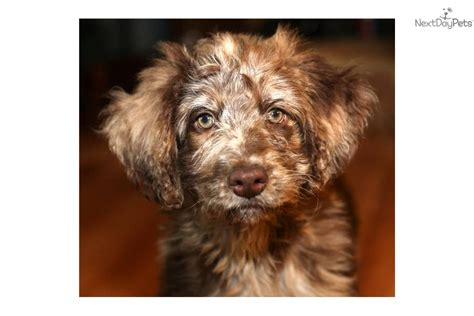 dogs for sale in richmond va aussiedoodle puppies breeds picture