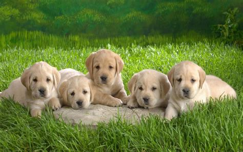 4 golden retriever activating thoughts puppies 2