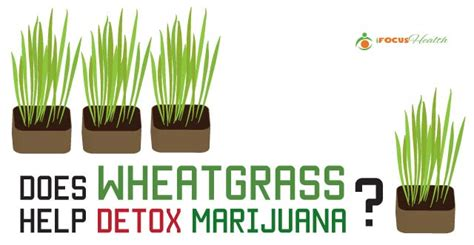 Wheatgrass Detox Benefits by Can You Get Marijuana Out Of Your System By Juicing Detox