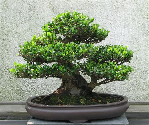 bonsai tree file eurya 1970 2007 jpg wikipedia