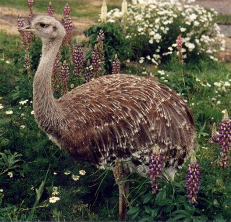 fotos animales zona sur de chile 209 andu animales en peligro de extinci 243 n en chile