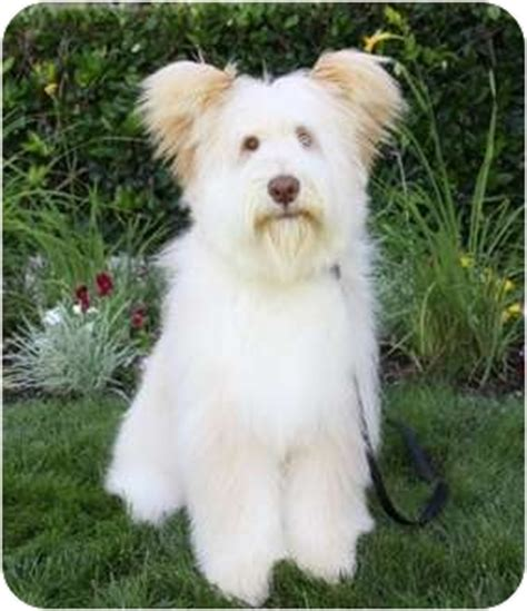 briard mix timothy adopted puppy newport beach ca briard