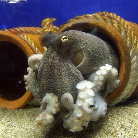 octopi home anatomy cephalopoda
