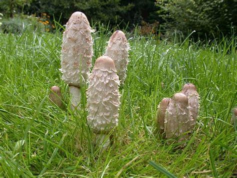Weißer Pilz Im Garten Essbar by Schopftintlinge Jung Essbar Foto Bild Pflanzen
