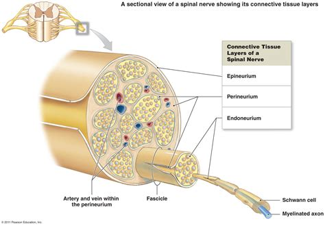 diagram of the spine and nerves peripheral nervous system