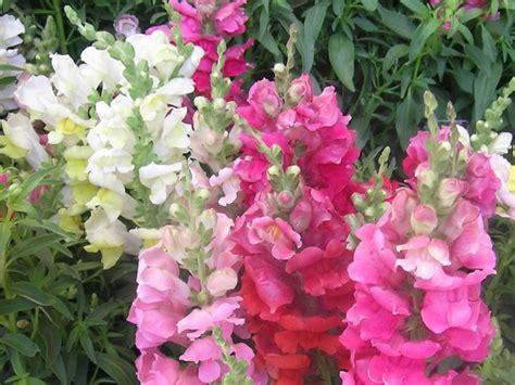 fiori bocche di bocca di antirrhinum majus piante annuali