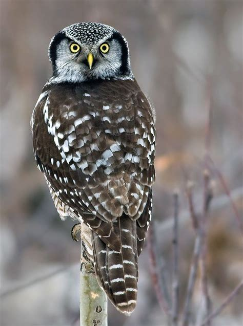 wisconsin owls identification 860 best images about owls on