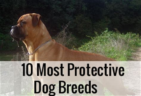 most protective breeds 10 most protective breeds entirelypets