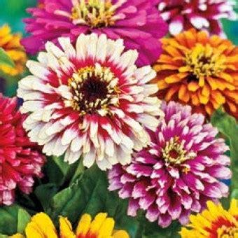 10 Benih Biji Bunga Zinnia Carpet benih bunga zinnia inner