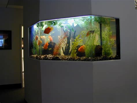 fish tank in home fish for aquaponics