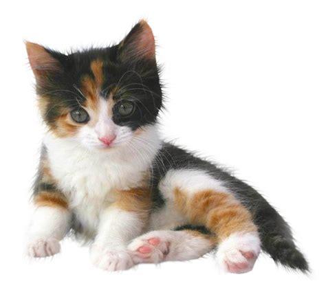 imagenes png para descargar tiernas im 225 genes de hermosos gatitos en png para descargar