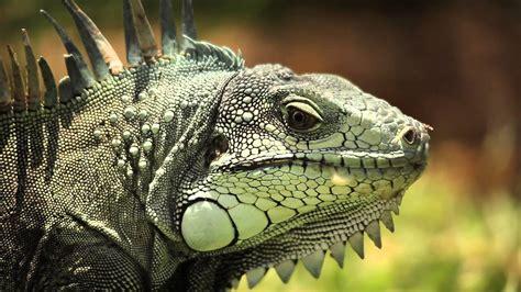 Iguana L n 176 2 l iguane vert ou iguana iguana