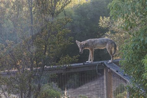 Coyote In Backyard by Is Drought Driving More Coyotes Into Yards Eastbaytimes