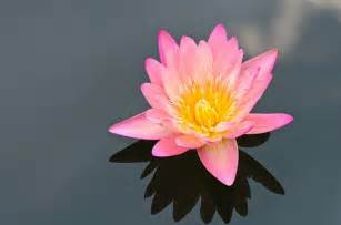 The Pink Lotus The Pink Lotus Flower Flickr Photo