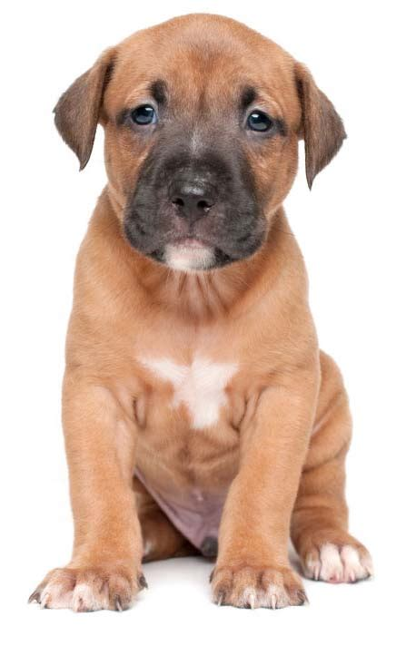 boy pitbull puppy names brown pitbull puppies www pixshark images galleries with a bite