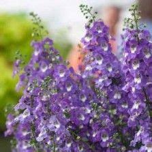 Tanaman Angelonia Putih 225 best tanaman hias bunga images on childhood early childhood and infancy