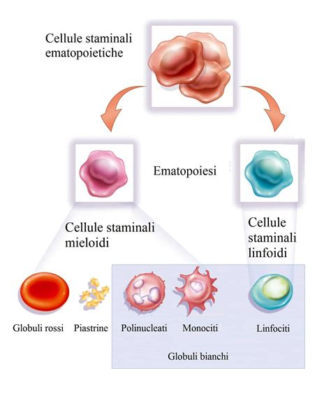 globuli bianchi bassi e alimentazione globuli bianchi alti e bassi valori e cause