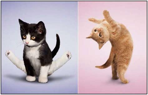 Imagenes Yoga Animales | yoga para gatos im 225 genes divertidas de posturas de gatos