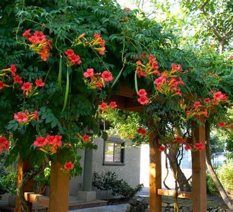 Bunga Morning Blue Wildflower mejores 36 im 225 genes de trepadoras ornamentales en
