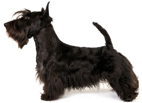 scottish yerrier haircuts scottish terrier information facts pictures training